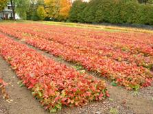 red oak seedlings
