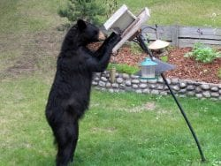 Bear at a feeder in Marathon Ontario - Cornell Lab of Ornithology