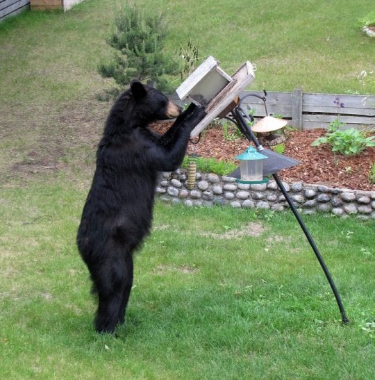 Bear at a feeder in Marathon Ontario - Cornell Lab of Ornithology