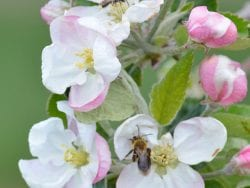 Native ground nesting bees visit apple blossom