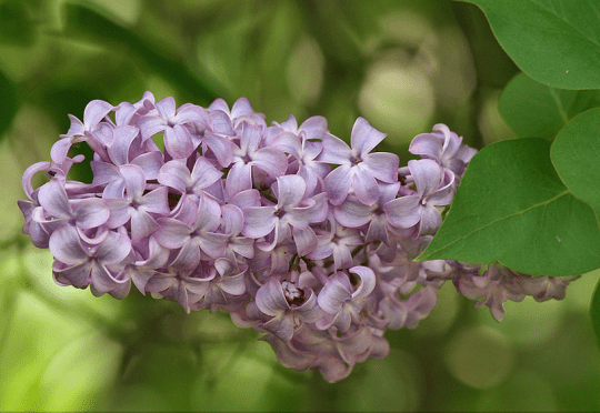 lilac bush courtesy wikimedia user Jjron