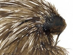 porcupine