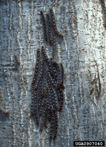 eastern tent caterpillar & Intense Tent Caterpillars - - The Adirondack Almanack