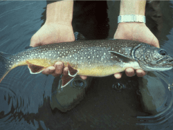 spawning lake trout