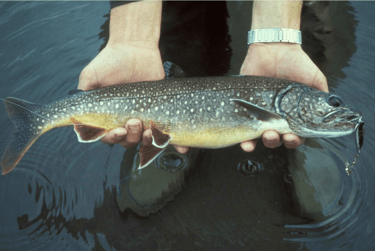 More Adirondack Lake Trout Monitoring Needed - - The Adirondack Almanack