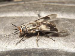 adult deer fly