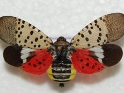 spotted lantern fly