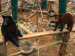 Black bear enclosure provided by Adirondack Wild