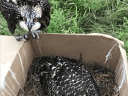 Juvenile Ospreys rescued from burning power pole