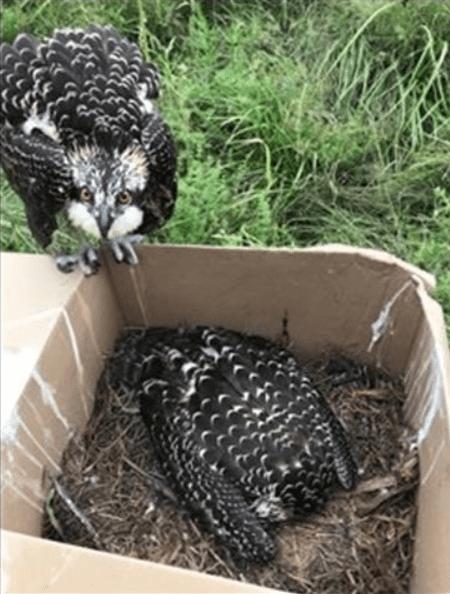 Juvenile Ospreys rescued from burning power pole