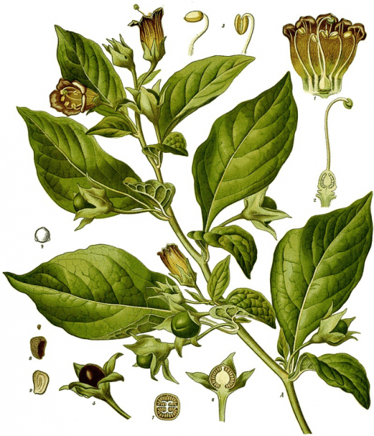 Deadly Nightshade courtesy Köhler's Medicinal Plants 1887