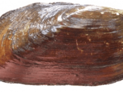 East elliptio mussel East elliptio mussel provided by DEC