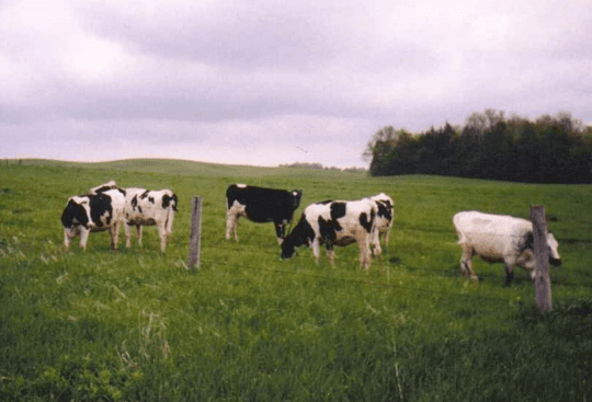 Dairy Cows in Collins Center New York 1999