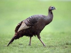 wild turkey - female