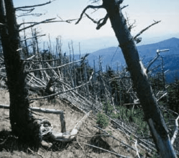 dead fir on mt mitchell