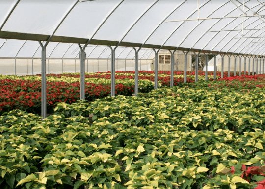 greenhouse grown poinsettias