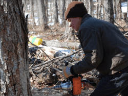 march maple tapping