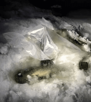 northern pike being kept alive and stored in the ice
