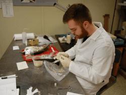 Intern Eric Diaz preparing a Greater Shearwater specimen that was found on a Long Island beach