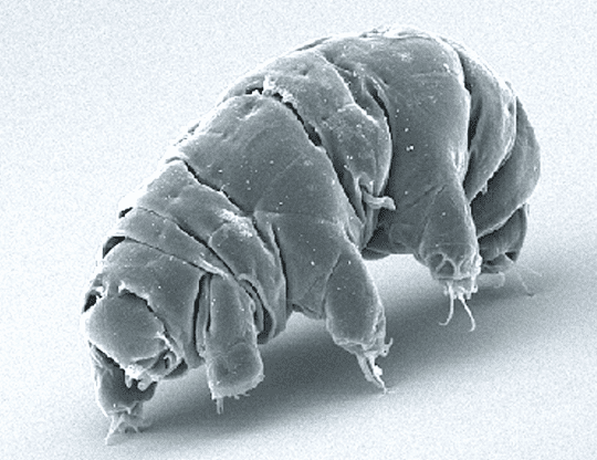 water bear under microscope