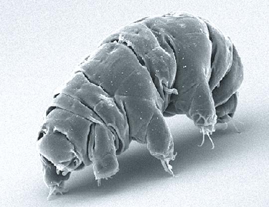 water bear under microscope