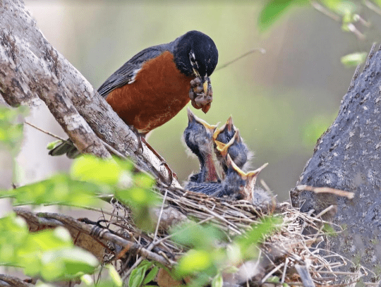 Adult male American Robin feeding nestlings