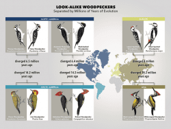look alike woodpeckers