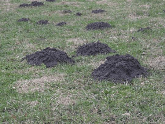 mole hills in a pasture
