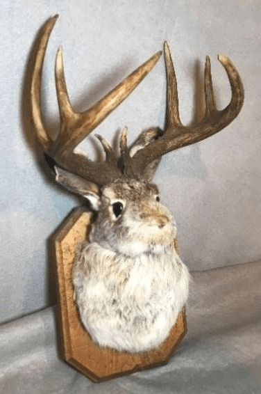 taxidermy Jackalope provided