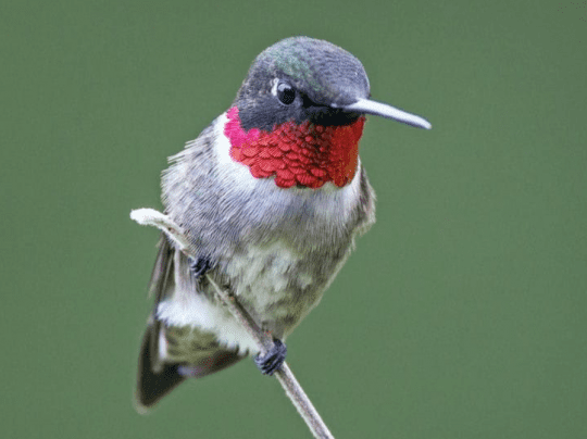 Adult Male Hummingbird courtesy Ian Davies