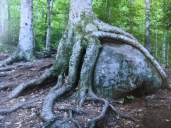 tree along the trail to the top of Goodnow Mountain has been called the Octopus Tree