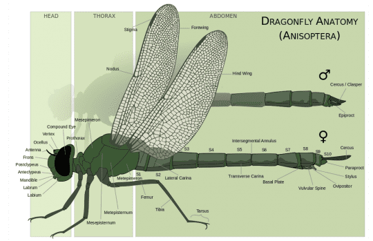 dragonfly anatomy courtesy Wikimedia user M A Broussard