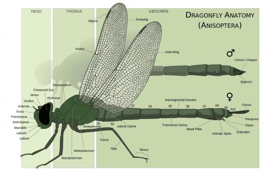 dragonfly anatomy courtesy Wikimedia user M A Broussard