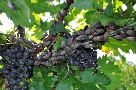spotted lanternflies feeding on a grapevine