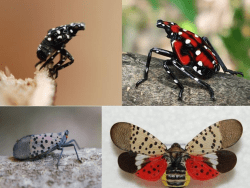 spotted lanternfly nymphs adults