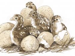 turkey chicks