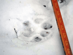 Mountain lion paw print taken in Lake George on Dec 10 2010 courtesy NYSDEC
