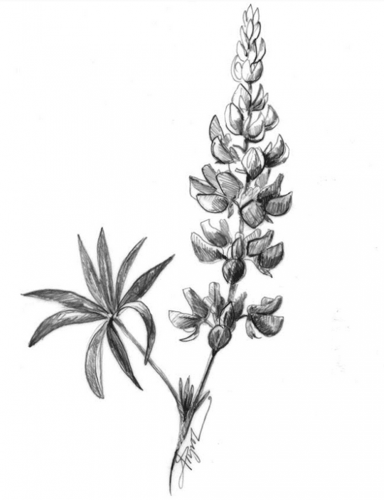 lupine by adelaide tyrol