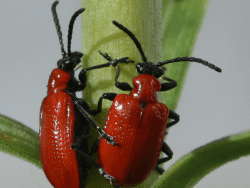 Scarlet or red lily beetle courtesy wikimedia user Charlesjsharp