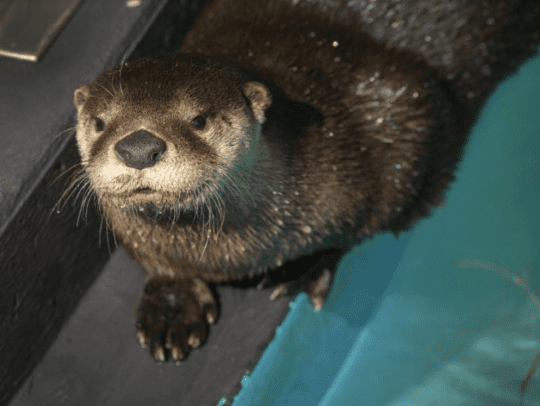 Tawi:ne the river otter