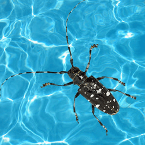 Adult Asian longhorned beetle in a pool