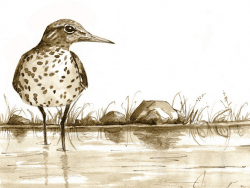 Spotted Sandpiper by Adelaide Tyrol