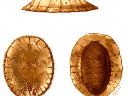 Water pennies