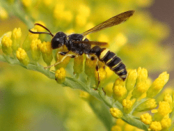 common goldenrod and a pollinating Cerceris wasp