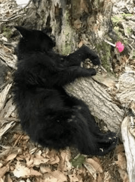 tranquilized bear cub courtesy DEC