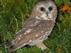Saw-whet owl immediately after its release from banding