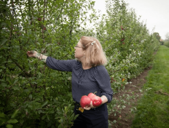 Susan Brown picks apples in a Cornell AgriTech orchard