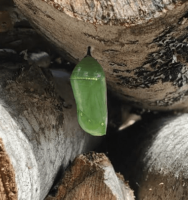monarch pupates in the relative safety of a firewood pile by Richard Gast