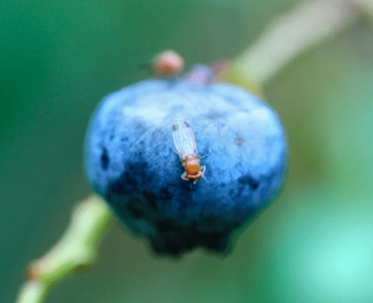 Adult spotted-wing drosophila (SWD) on blueberry courtey Tim Martinson; Cornell AgriTech