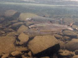 Atlantic Salmon courtesy NOAA Fisheries